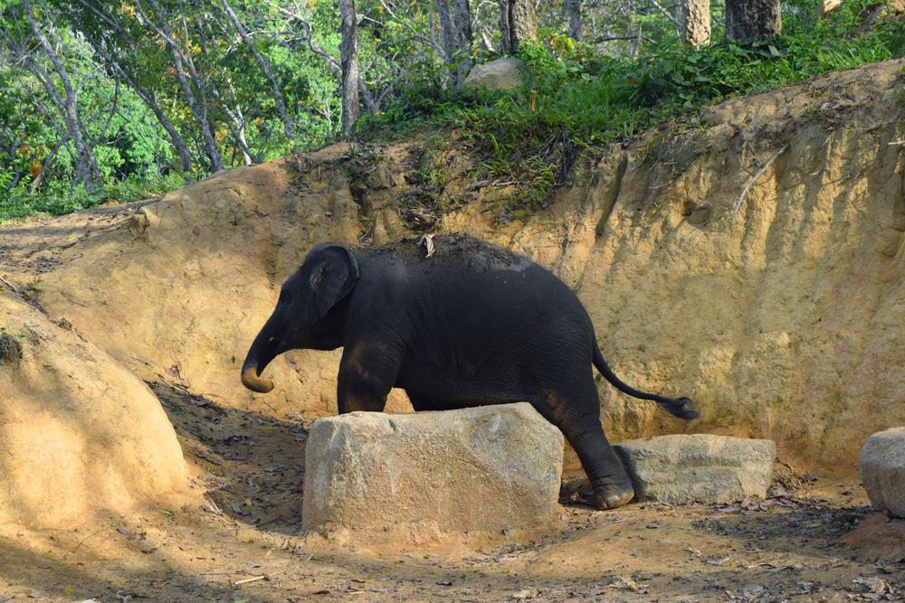Un éléphanteau dans une réserve d'éléphant en Thaïlande