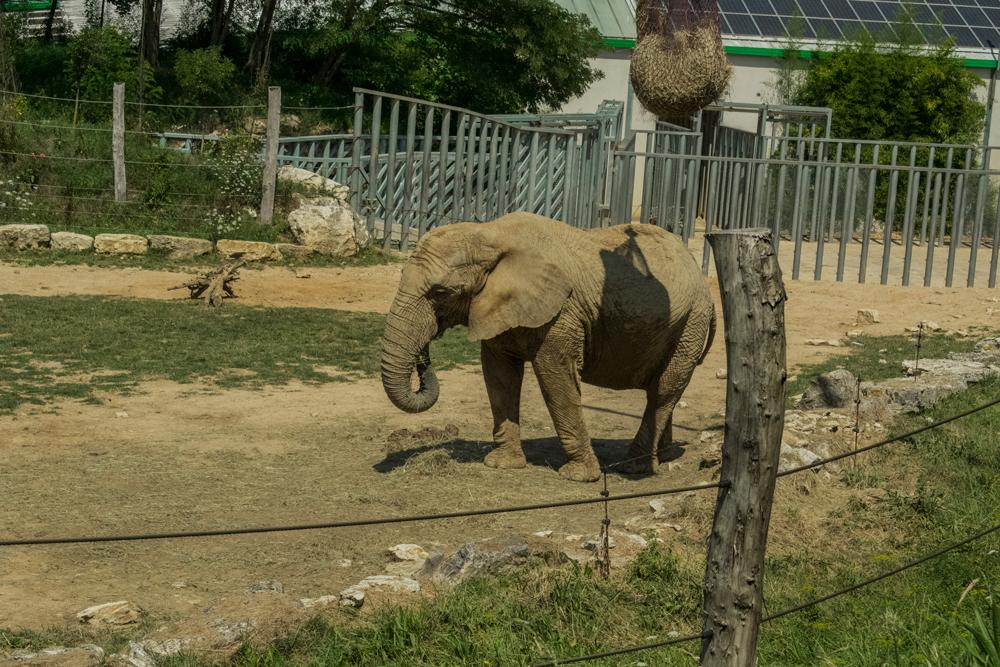 Éléphant dans le zoo de Beauval