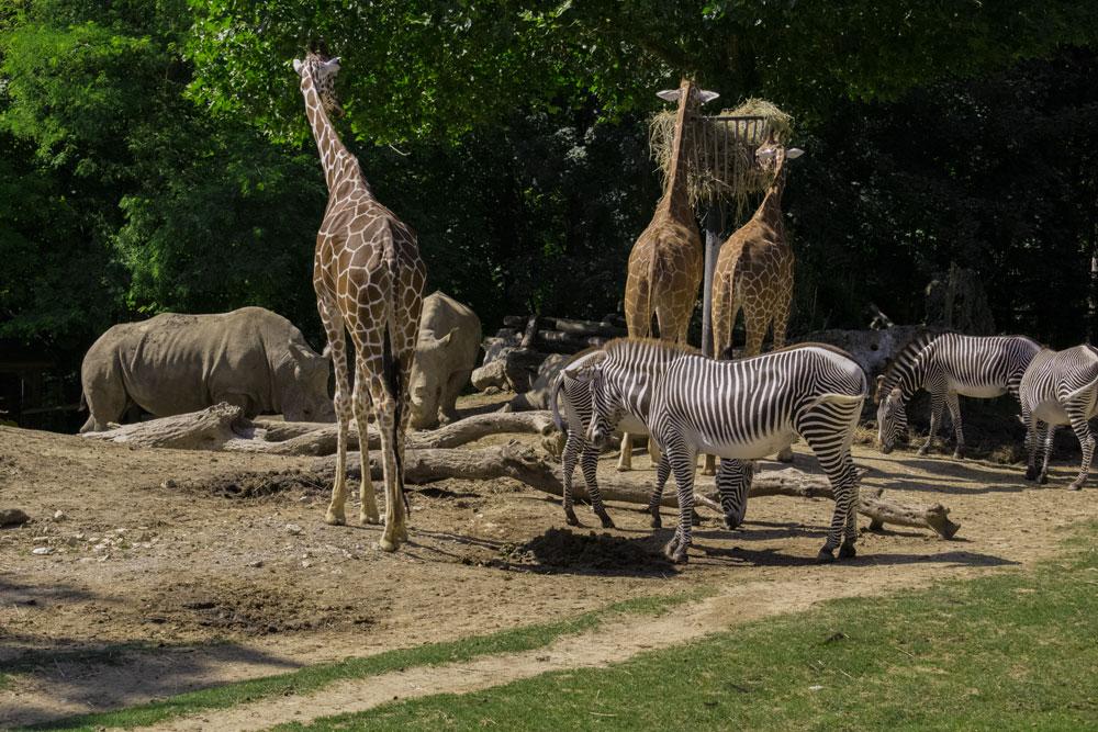 Savane au zoo de Beauval