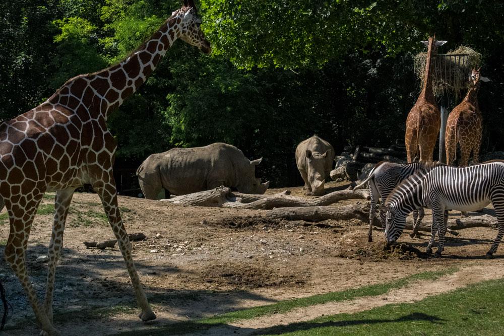 Animaux de la savane au zoo de Beauval