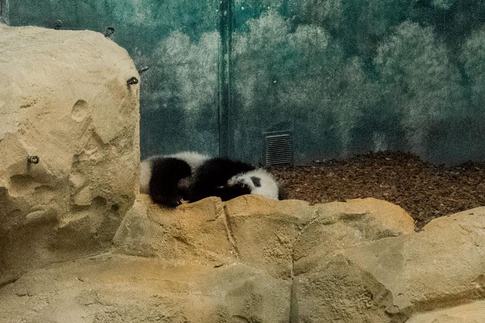 Bébé panda au zoo de Beauval