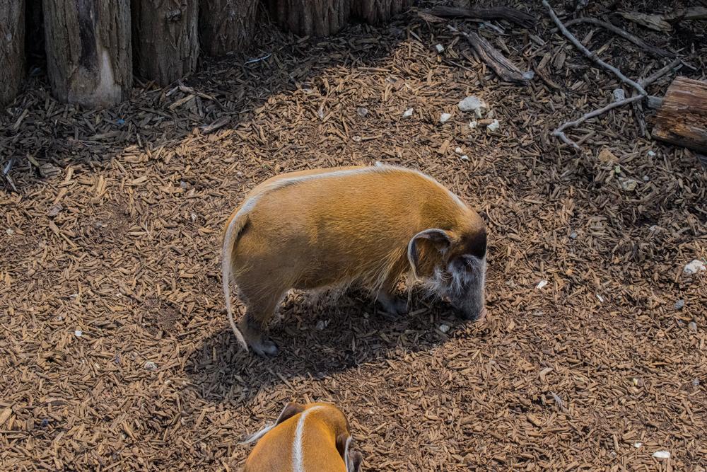Cochon sauvage au zoo de Beauval