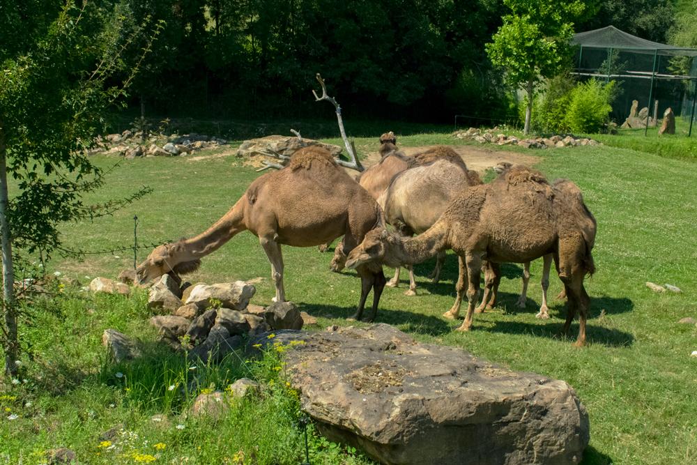 Dromadaires dans le zoo de Beauval