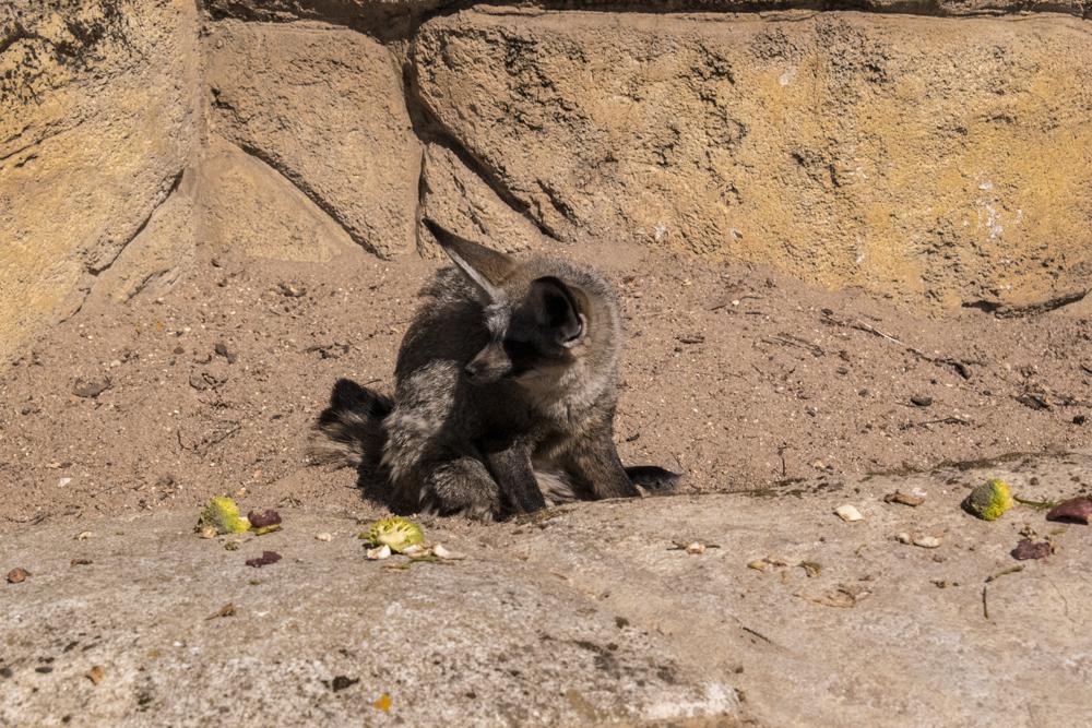 Fennec au zoo de Beauval
