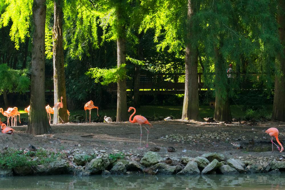 Flamant rose au zoo de Beauval