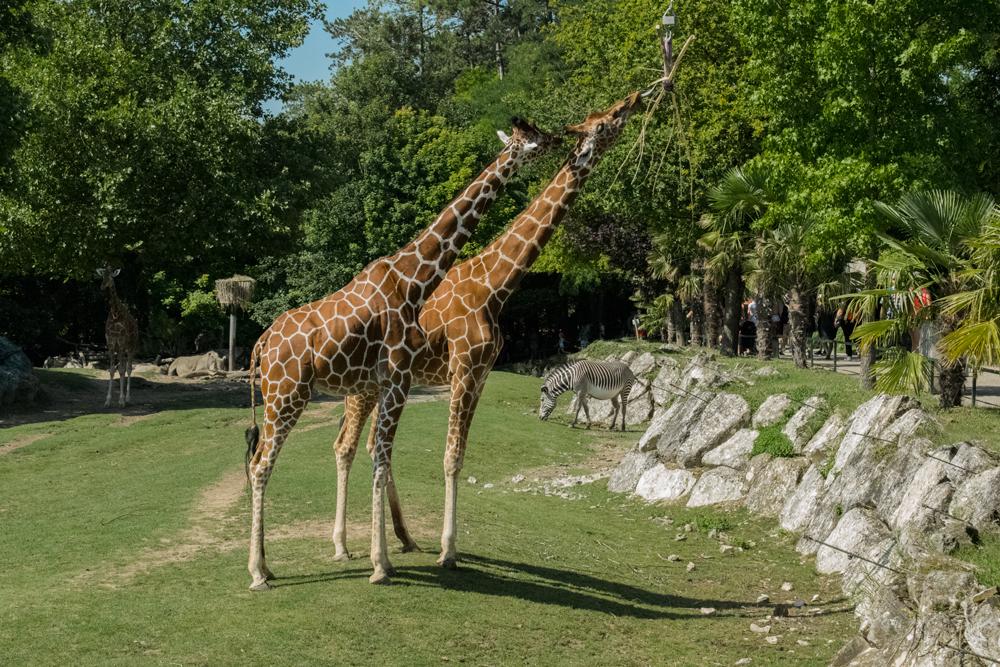 Girafes au zoo de Beauval