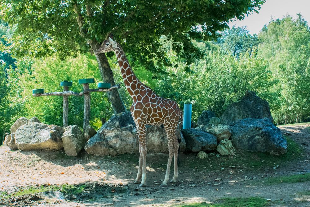 Girafe au zoo de Beauval