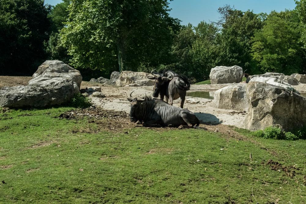 Gnou au zoo de Beauval