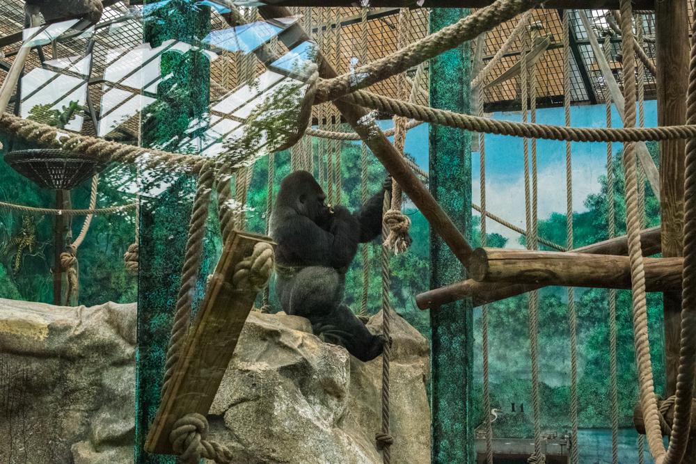 Gorille au zoo de Beauval