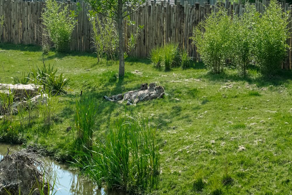Guépard au zoo de Beauval