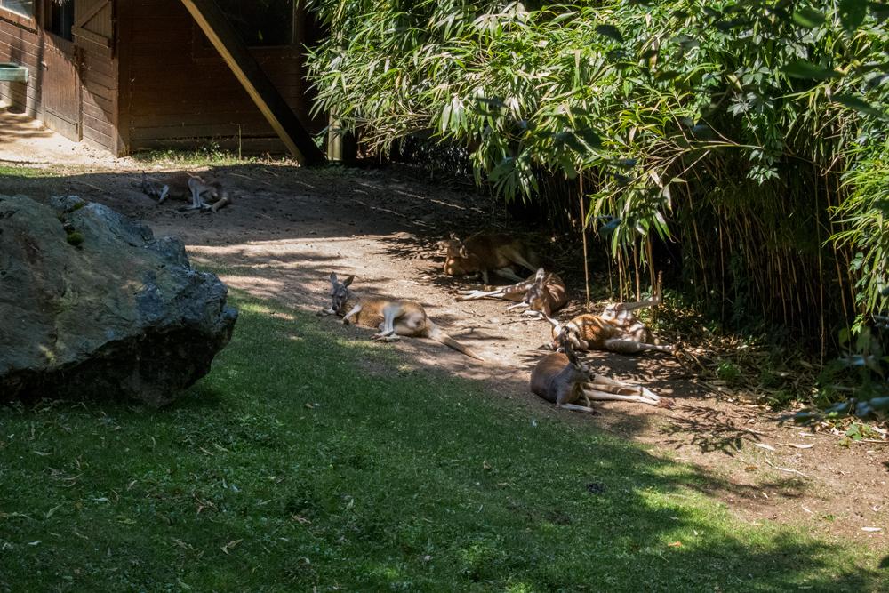 Kangourou au zoo de Beauval