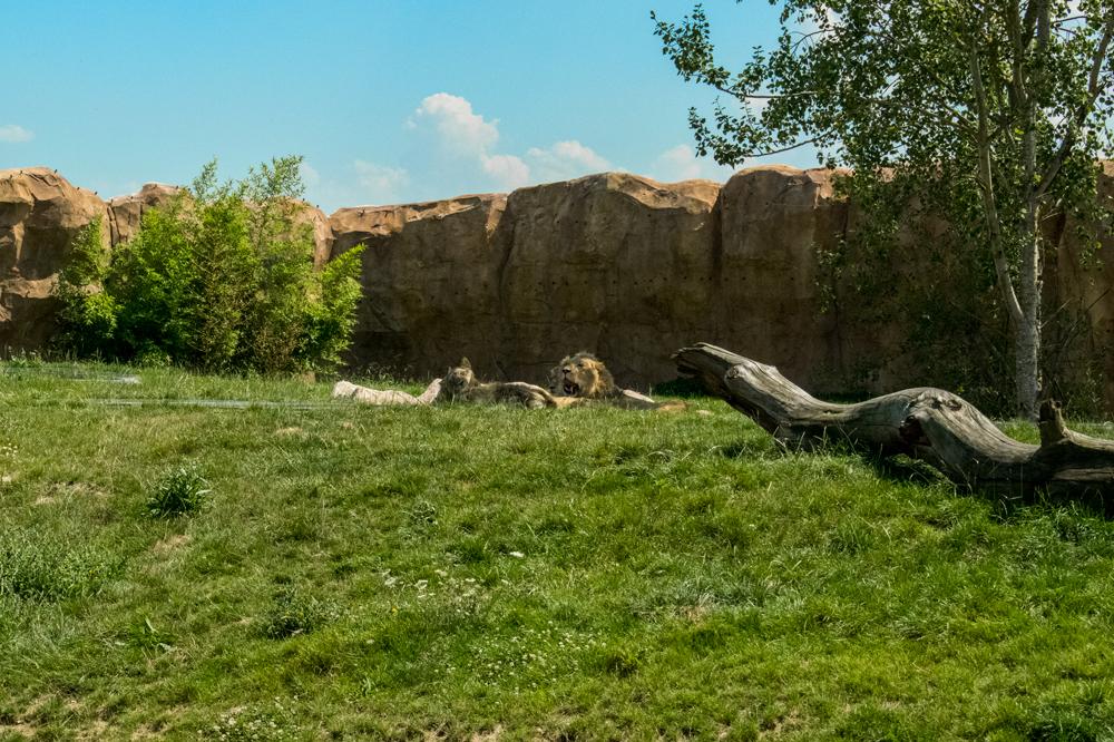Lions au zoo de Beauval