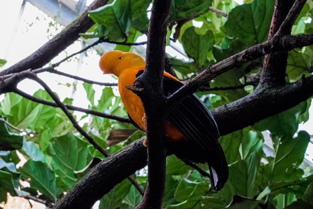 Oiseau orange au zoo de Beauval