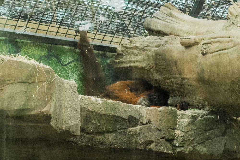 Orang-Outan au zoo de Beauval