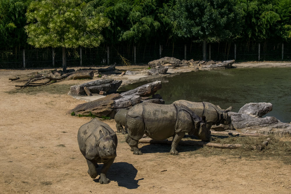 Rhinocéros au zoo de Beauval