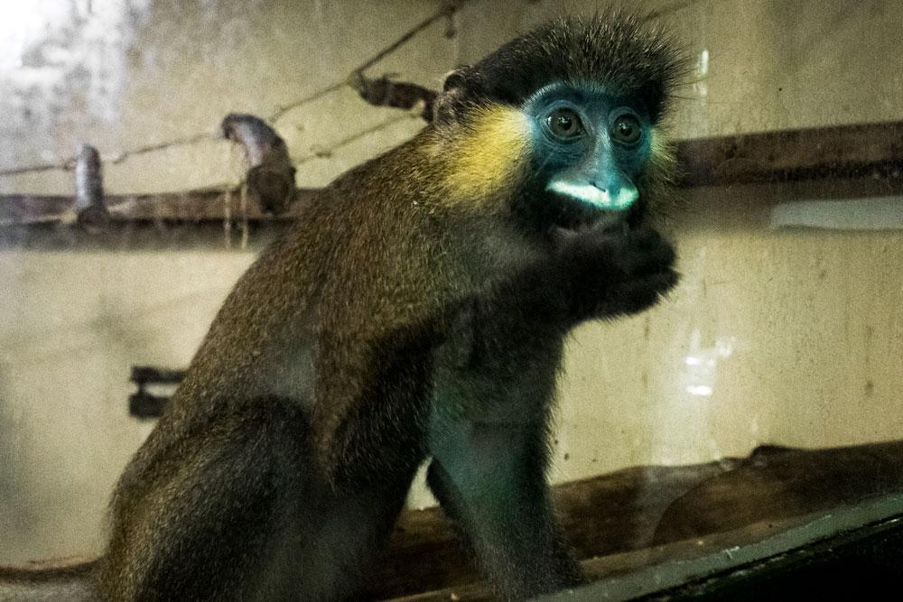 Singe au zoo de Beauval