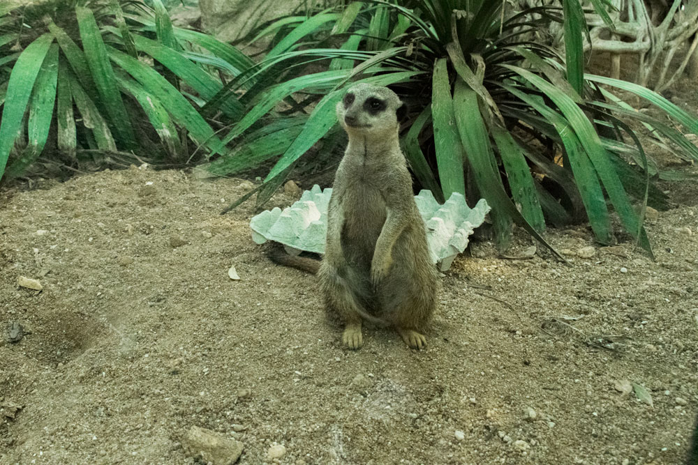 Suricate au zoo de Beauval
