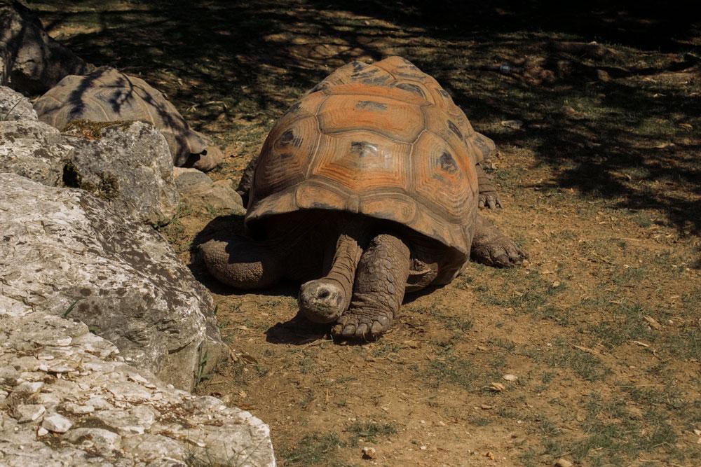 Tortue terrestre au zoo de Beauval