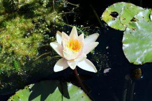 Nénuphar blanc dans un étang des Jardins de Chaumont
