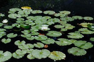 Nymphaea Lotus sur un étang dans les Jardins de Chaumont